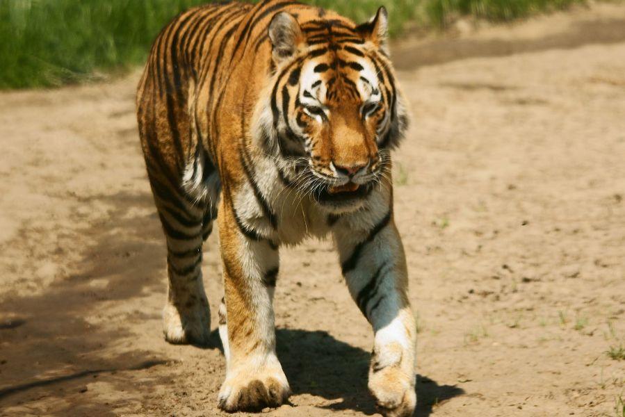 tygrys1